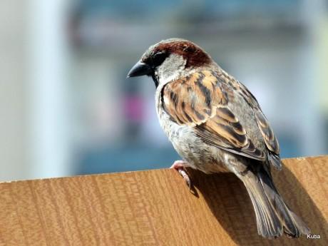 A powyżej prezentuję mojego nowego kolegę, który każdego ranka budzi mnie swoim ćwierkaniem. Założył sobie gniazdo tuż koło balkonu i czeka na Panią Wróbelkową :-)