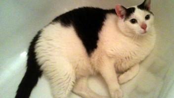 [ogłoszenie nieaktualne] Miłek, bohaterski kot, szuka domu!